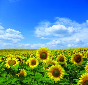 sunflower01-cymk
